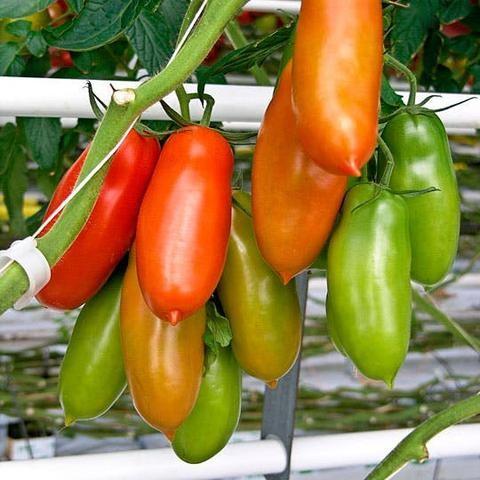 San Maranzo Tomatoes
